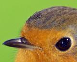 Robin 100% crop