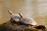 Eastern  Painted Turtles