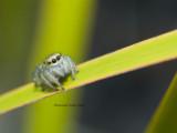 Tasmanian Jumping Spider, Salticidae