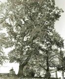 Le Grand Chêne de Lamarquette