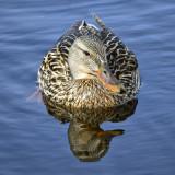 _DSC0962pb.jpg Female Mallard Duck