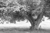 Oldish Kentish Tree