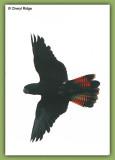 9464-glossy-black-cockatoo
