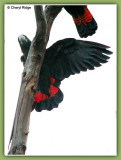 9508-glossy-black-cockatoo