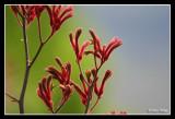 australian native flowers misc