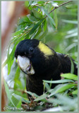 8706- yellow tailed black cockatoo