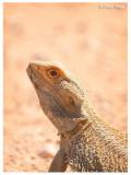 0469-central-bearded-dragon
