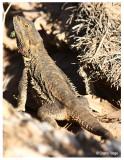 9732-central-bearded-dragon