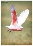 Major Mitchell's (Pink) Cockatoo