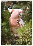 0803- Major Mitchell's (Pink) Cockatoo