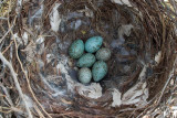Four Hooded  Crow eggs and two  Cuckoo eggs