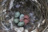 Two Cuckoo nestling day 1