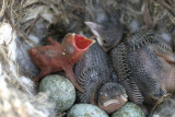 Two Cuckoo nestling day 6 Hooded Crow nestling day 0