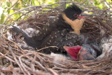 Cuckoo nestling day 19 Hooded Crow nestling day 13