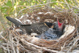 Cuckoo nestling day 22 Hooded Crow nestling day 16