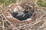 Crow nestling day 21