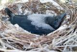 Crow nestling day 27