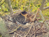 Cuckoo nestling