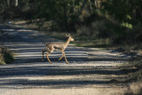 Gazella gazella