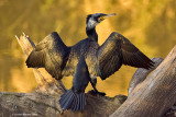 (Great) Cormorant