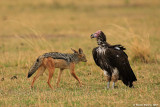 Black-striped Jackal and Lappet - faced Vulture