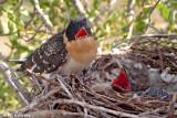 Cuckoo nestling day 21 Hooded Crow nestling day 15