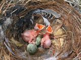 Two Cuckoo nestling day 2