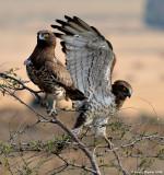 Short-toed Eagle