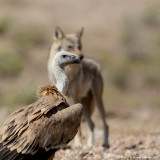 Wolf and  Griffon Vulture