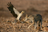 Egyptian Vulture and Wolf