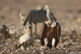 Griffon Vulture, Egyptian Vulture and Wolf