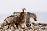 Griffon Vultures and Wolf