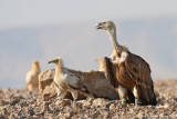 Griffon Vulture andEgyptian Vulture