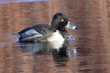 ringnecked_duck
