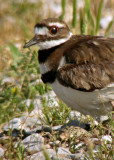 Killdeer (with eggs)