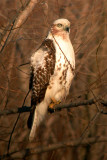 Krider's (Red-Tailed) Hawk