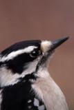 Downy Woodpeck