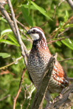 Quail and Turkey