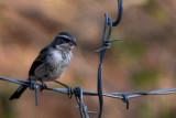 Black-Throated Sparrow (immature)