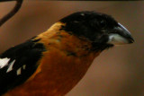 black-headed_grosbeak