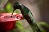 Magnificient Hummingbird