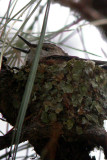 Broad-Tailed Hummingbird (nest)