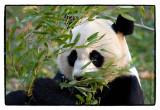 _MG_7303 panda wf.jpg