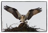 dance of the osprey