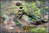 Wood duck (Aix sponsa) male