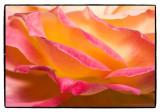 _MG_3327 rose cwf.jpg