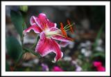 july 17 lily 3