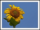 aug 13 sunflower