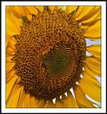aug 17 sunflower