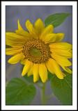 sep 5 sunflower